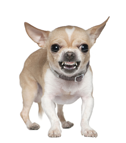 Meaning of Teeth dreams - Snarling Chihuahua By Eric Isselee Stock photo ID: 53485081