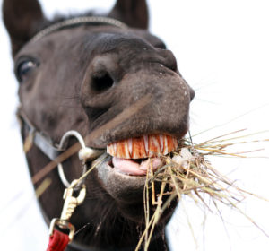Dreams about teeth falling out | Dreams about losing teeth Image By Elena Itsenko Stock photo ID: 226969177 horse chewing hay