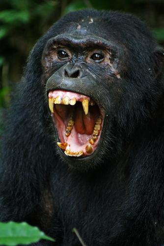 Dreams about teeth - Chimpanzee baring teeth