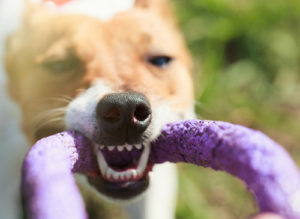 Teeth dreams By hurricanehank Stock photo ID: 587111156 Puppy playing with puller toy in teeth