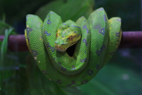 Symbolism of the Serpent By Skynavin Stock photo ID: 679658173  Green Tree Python on a branch