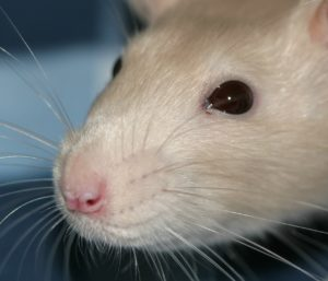 Dreams About Rats: Symbols of Persistence, Resistance, and