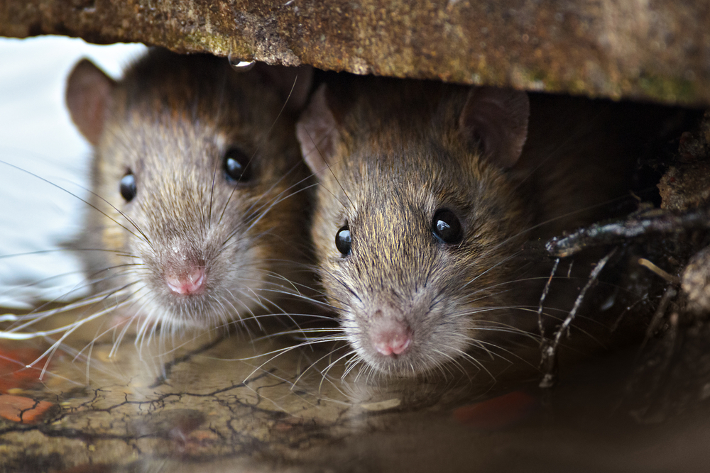 Dreams About Rats Symbols Of Persistence Resistance And Endurability