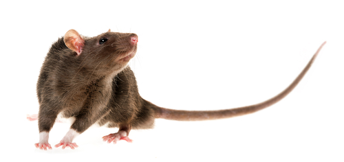 Dreams About Rats: Symbols of Persistence, Resistance, and Endurability