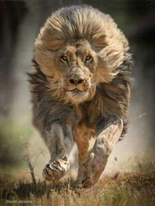dreams of being chased by animals (charging lion)